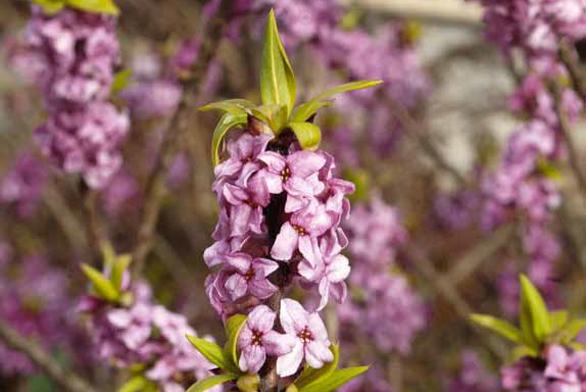 Lýkovec obecný (Daphne mezereum) rozkvétá mezi úplně prvními jarními keři. Bohaté růžové květy se otevírají na holých větvičkách, takže keř působí křehce a elegantně. Zelené listy se objeví až při odkvětu.