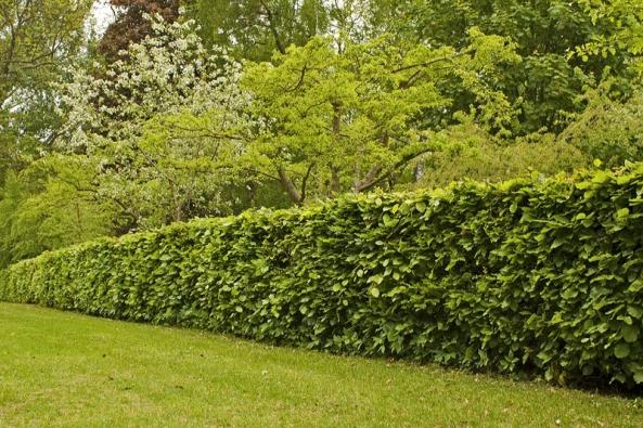 Živé ploty jsou klasickými zahradními prvky, pomocí nichž lze měnit ohraničení, vytvářet další předěly výsadbami a spojovat je se skupinami keřů, stromů a rostlin.