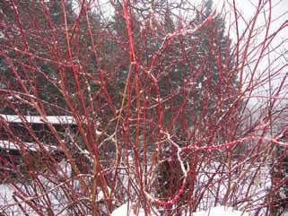 Svída krvavá má rudé větve a černé nejedlé plody. Příbuzná svída bílá je podobná, jen má bílé plody.