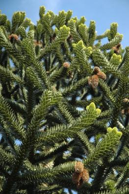 Exotický jehličnan Araucaria araucana snese inaši zimu, pokud je příznivá abez holomrazů.