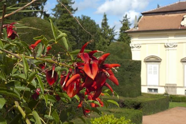Neobvyklé velké červené květy malého stromku Erythrina crista-galli, neboli česky ane moc hezky – zarděnice. Pochází ze severní Argentiny asnáší teploty kolem bodu mrazu.