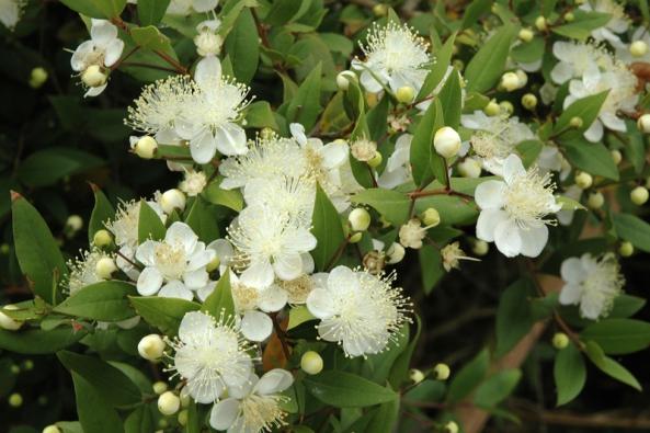 Keříky myrty (Myrtus communis) patří kvelmi oblíbeným rostlinám. Větvičkami se zdobí svatebčané, květy iplody se vjižní Evropě  používají jako koření.