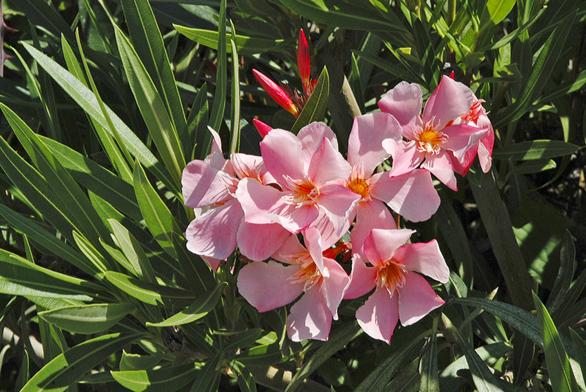Pěkně kvetoucí oleandr (Nerium oleander) je oblíbený okrasný keř, ale velmi jedovatý. Nenechávejte ho nadosah malým dětem.