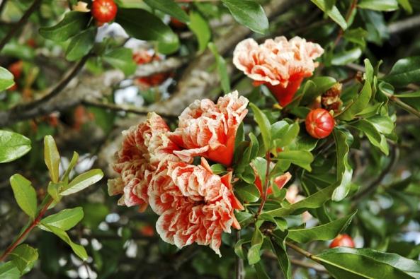 Granátovník (Punica granatum) ´Legrellei´ je nejen užitkový strom, ale ipěkný okrasný keř. Pěstuje se vrůzných kultivarech.