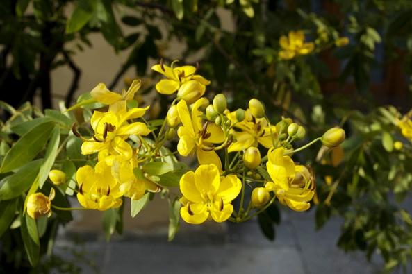 Jeden zmnoha druhů stromků rodu Senna kvete velmi vděčně povětšinu teplé sezony. Většina druhů kvete žlutě, ale pěstují se idruhy skvěty růžovými.