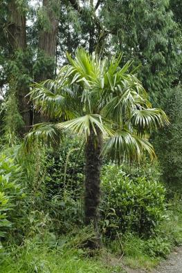 Patrně nejchladnomilnější palmou je čínský Trachycarpus fortunei. Snese až -20 °C, unás ho lze pěstovat vevolné půdě bez stěhování. Nazimu je třeba ho zabalit.