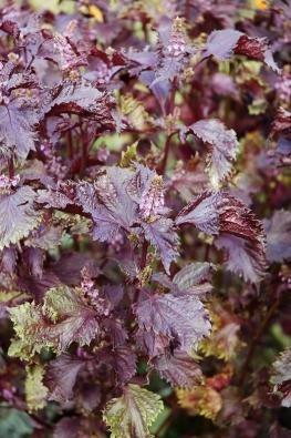 Perila křovitá (Perilla frutescens) je bylina zvýchodní Asie, kde ji už postaletí používají jako léčivku proti nachlazení ijako listovou zeleninu.
