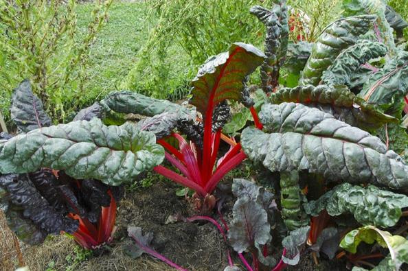 Mangold je listová zelenina původem ze Středomoří, pěstuje se už oddob Římanů. Stačí deset rostlin nazáhonku alisty můžete postupně sklízet celou sezonu.