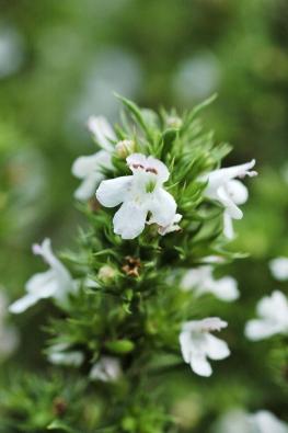 Květy saturejky horské (Satureja montana) jsou velmi drobné akokrasným nepatří. Je oněco výraznějším kořením než saturejka zahradní apoužívá se jako jemná náhražka pepře.