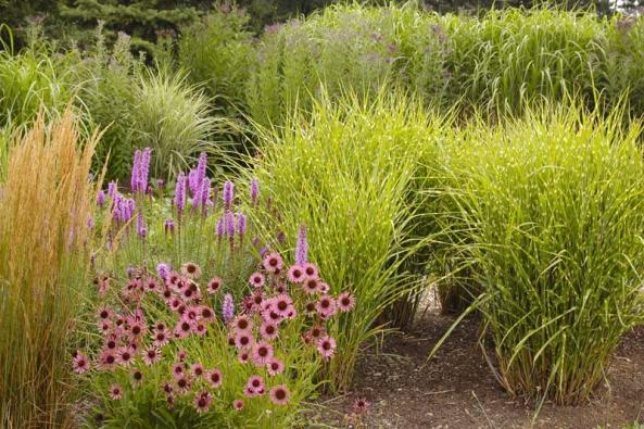 Ježatka (Echinacea) vynikne samostatně vkombinaci sokrasnými trávami nebo keři, ale ivpestrém záhonu letních trvalek.