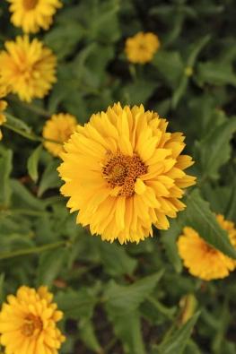 Janeba (Heliopsis) má velmi trvanlivé květy. Veváze vydrží idva týdny.