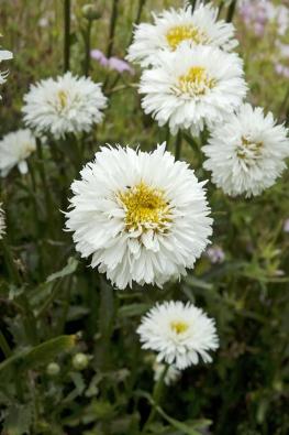 Česká odrůda kopretiny největší (Leucanthemum maximum) ´Sněhurka´ je téměř plnokvětá.