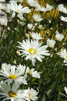 Hvězdnice velkokvětá (Chrysanthemum maximum) vyžaduje výživnou dostatečně vlhkou zahradní zem a slunné stanoviště.