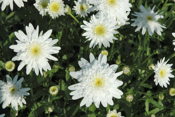 Kopretina bílá (Leucanthemum vulgare) má moc hezkou plnokvětou odrůdu ´Česká píseň.
