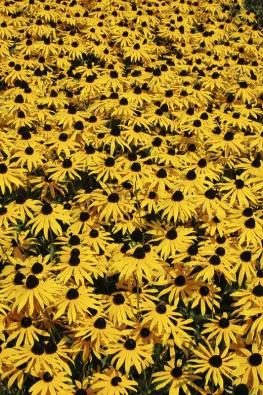 Třapatka (Rudbeckia fulgida) snese téměř jakékoliv prostředí aminimum péče. Hodí se kchatám, kapličkám, doveřejné zeleně idopestrého záhonu letních trvalek.