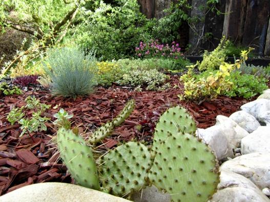 """Opuntia phaeacantha je nejčastěji pěstovaným skalkovým kaktusem unás. Vyrovná se steplotou pod –20°C, ale hlavně pravidelně kvete, ato i""""nekaktusářům""""."""
