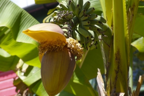 Banánovník na zahradě?