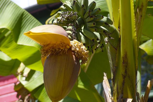 Basjoo banánovník (Musa basjoo), květenství splody.