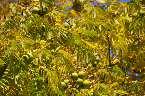 Plody ořešáku černého intenzivně voní, lze je použít kvýrobě šperků itmavého barviva.