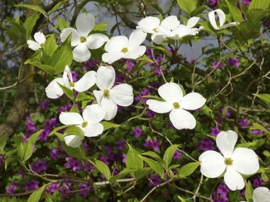 Dřín květnatý  (Cornus florida)
