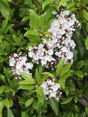 Mamota širokolistá  (Kalmia latifolia)