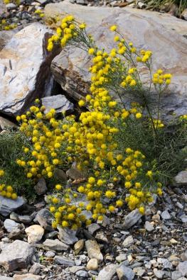 Hvězdnice zlatovlásek (Aster linosyris) je nenáročná rostlina teplých aslunných strání větší části Evropy.