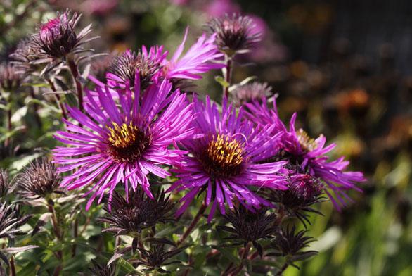 Květy hvězdnice novoanglické kultivaru ´Ivona´ (Aster navae-angliae) mají půvab nejen pro lidské oko, ale ipro včely amotýly.