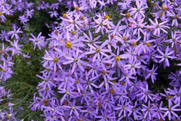 Bohatě kvetoucí hvězdnice tečkovaná (Aster punctatus) je doma vjižní Evropě, ale vteplejších oblastech unás roste bez problémů.
