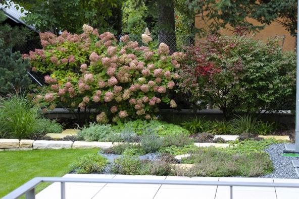 První náznaky podzimu – narůžovělé květy hortenzie (Hydrangea paniculata ´Limelight´) azačínající vínově červené zbarvení brslenu (Euonymus alatus ´Compactus´).