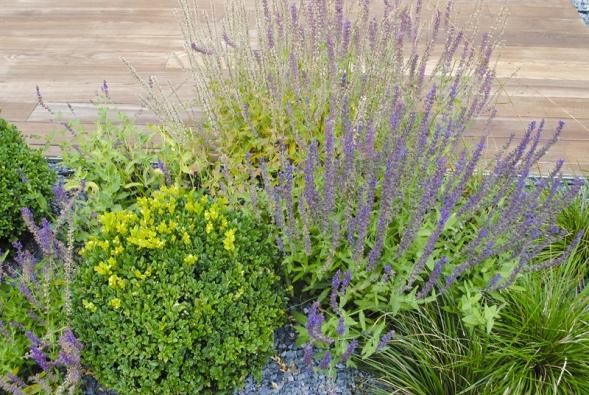Detail nabylinkový záhon před terasou – kombinace zimostrázových koulí ašalvějí (Salvia nemorosa).