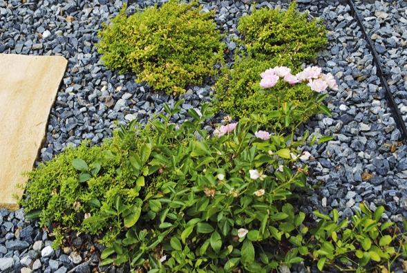 Půdopokryvný koberec mezi šlapáky je tvořen směsí mateřídoušky amísty doplněn poléhavými růžemi, které kvetou odléta až dopodzimu.