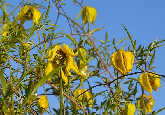 Plamének Clematis tangutica 'Lambton Park' kvete průběžně od začátku léta až do podzimu.