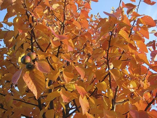 Podzimní zbarvení okrasné jabloně Malus 'Tschonoskii'.