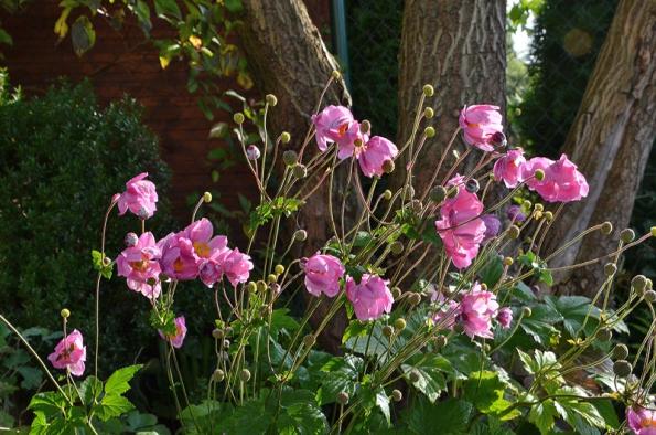 V pozdním létě ana podzim kvetoucí sasanka Anemone hupehensis  'SeptemberCharm'.