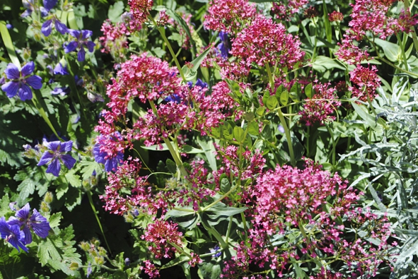 Kakost vznešený (Geranium x magnificum) a mavuň červená (Centranthus ruber ´Coccineus´)  v detailu.