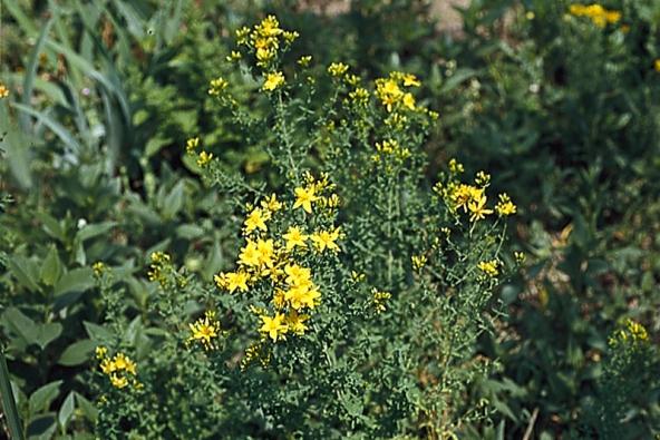 Třezalka tečkovaná (Hypericum perforatum) je vytrvalá bylina, až 60 cm vysoká, kvete od června do září. Na zahradě zůstává z původního porostu. Nálev uklidňuje trávicí soustavu, olej hojí popáleniny, hemeroidy a zhnisané rány.