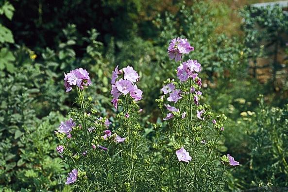 Sléz pižmový (Malva moschata) stejně jako podobný sléz léčivý (M. alcea) jsou dvouleté až vytrvalé byliny. Kvetou od června do září. Nálev z listů pomáhá proti zánětu horních cest dýchacích a zánětu žaludku. V koupeli hojí vředy.