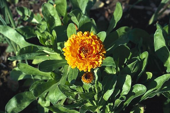 Měsíček zahradní (Calendula officinalis) je jednoletá bylina pro okrasné i zeleninové záhony. Kvete od června do podzimu, snadno se množí samovýsevem. Květ se suší do léčivých čajů při jaterních chorobách, používá se v mastích proti plísním a bércovým vředům, do koupelí při zánětech kůže.