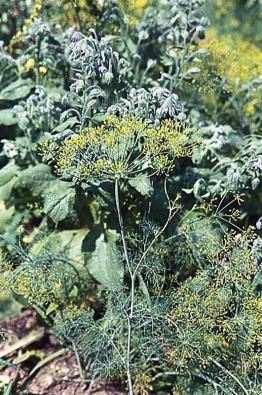 Kopr vonný (Anethum graveolens), jednoletá aromatická bylina, se hodí na zeleninové i okrasné záhony. Syrové nebo jen spařené lístky podporují zažívání.