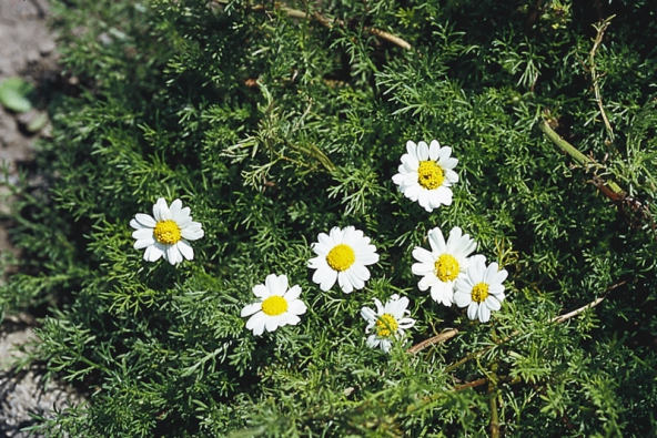 Heřmánek pravý (Matricaria chamomilla), jednoletá vonná bylina, kvete od května do září. Z květů se připravuje čaj na střevní, žaludeční i močové potíže. Heřmánkové koupele pomáhají při zánětech kůže, spáleninách a hemeroidech.