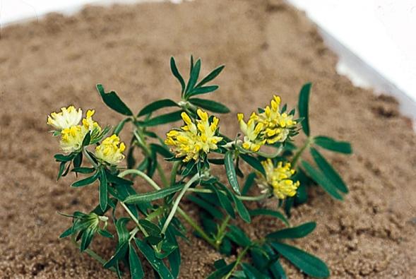 Úročník bolhoj (Anthylis vulneraria), trvalka asi 40 cm vysoká, kvete od května do července. Kvetoucí nať v nálevu nebo  v koupeli povzbuzuje organismus.