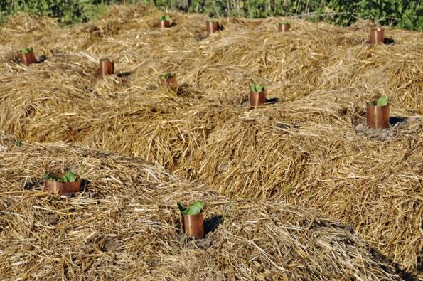 Dýně sázené dohnízd vmulči, chráněné stočeným měděným plechem proti slimákům.