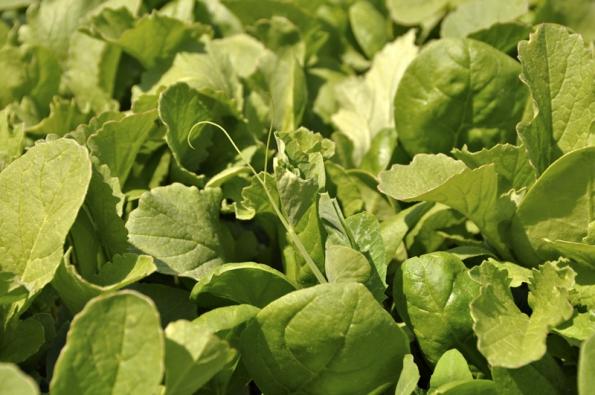 Hrášek se dere nasvětlo mezi listovou zeleninou. Potřebuje tyčku. Aněco tu chybí... ano, chybí tu místo pro plevel.