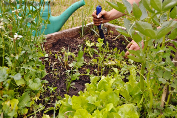 Naholá místa pojarní etapě dosazujeme sazeničky, zde celer.