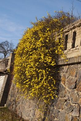 Jasminum nudiflorum - jedna z prvních kvetoucích dřevin