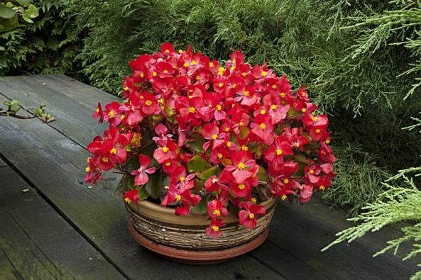 Begonia Semperflorens - hybrid