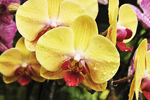Phalaenopsis - Golden Beauty Mr. Chen