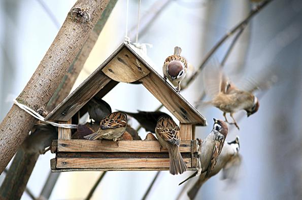 Krmítko nemusí být nijak složité ani honosné, stačí jen pár latí, malé množství překližky a pár hřebíků. Ptáčci nejsou vybíraví a díky laskavým lidem, kteří jim  v zimě vypomohou kouskem loje či semínky, zimu přežijí.