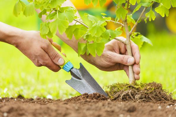 Nejlepší pro sadbu jehličnatých okrasných dřevin jsou období, kdy je vyšší přirozená vlhkost vzduchu ipůdy anižší teploty: jaro, konec léta (půda nesmí být zmrzlá nebo přemokřená, ale ani příliš vyschlá).