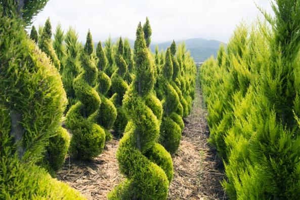 Umělecká úprava stromů vyvazováním, řezem či zaštipováním má dlouhou tradici nejen na Dálném východě, ale také v Evropě.